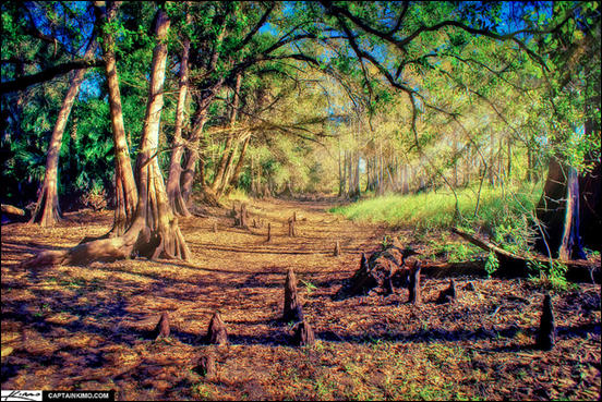 Cypress Forest at Fisheating Creek Park Florida by Captain Kimo
