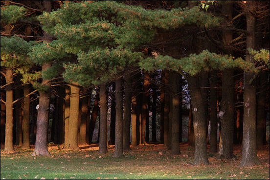 Pine forest at sunset by uBookworm