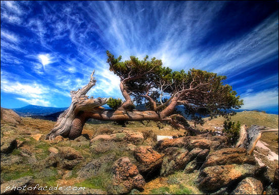 Bristlecone Pine Tree by Wil Granger