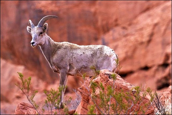 desert-big-horn-sheep