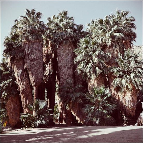 desert-fan-palms