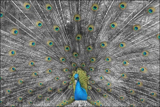 peacock-closeup