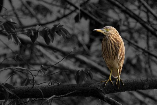 pond-heron