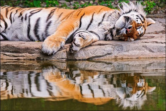 tiger's-reflection