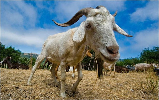 wide-angle-goat