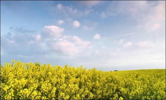 herefordshire-rapeseed-field